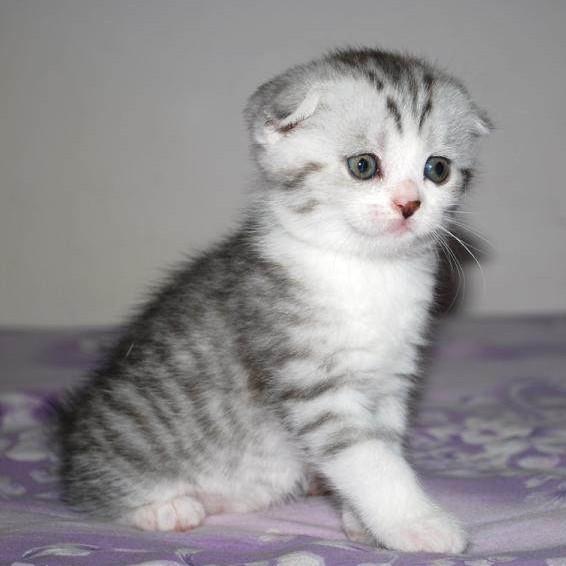 %申城名猫馆%个人繁殖,超级萌 苏格兰折耳猫 美短折耳鱼骨纹加白