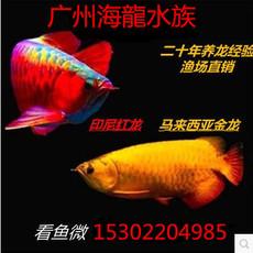 龙鱼 活体鱼苗热带鱼风水鱼印尼红龙鱼辣椒红龙金龙活体鱼观赏鱼