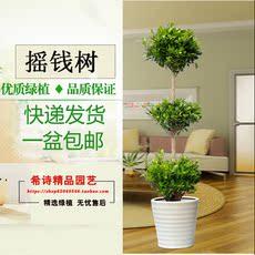 客厅办公室大型盆栽绿植盆景摇钱树吸甲醛 净化空气 江浙户包邮