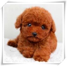 出售纯种泰迪贵宾幼犬 长不大茶杯泰迪 宠物狗狗活体 毛色多样1