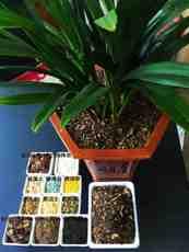 兰花君子兰专用土长白山松针松树皮混合颗粒兰科营养土新品包邮