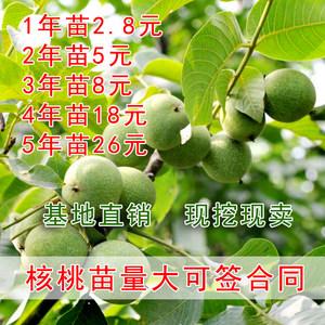 核桃树<span class=H>苗</span>文玩核桃树嫁接<span class=H>野生</span>薄皮核桃树<span class=H>苗</span>南北方种植当年结果