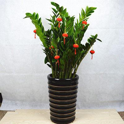 新房必备 大型绿植盆栽 金钱树 摇钱树 室内客厅盆栽植物 吸甲醛