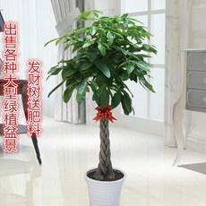 四季常青室内花卉盆景植物发财树盆栽绿萝摇钱树花苗客厅大型绿植