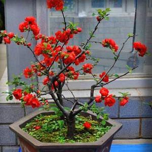 高杆西府海棠垂丝海棠北美海棠树苗绿化苗木庭院庭院耐寒植物花苗
