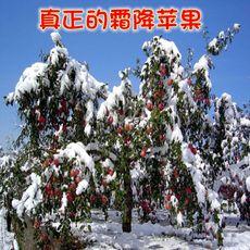 山西新鲜水果苹果10斤纯天然红富士苹果吃的运城大丑水苹果冰糖心