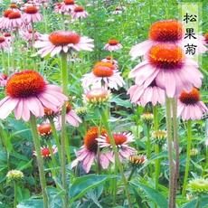 原包多年生景观花种紫松果菊紫锥菊花种子紫色阳台庭院绿化春秋播