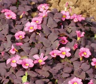 【第二份半价】秋天种现货数量可选包邮紫叶芙蓉酢浆草幸运草红花