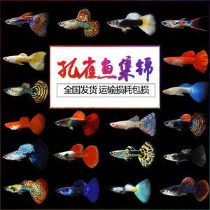 孔雀鱼活体凤尾鱼苗红绿灯淡水<span class=H>宠物</span>金鱼纯种小型胎生鱼热带观赏鱼