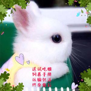 宿舍家养小白兔活体小型迷你长不大侏儒兔垂耳兔不咬人<span class=H>宠物</span>兔包邮