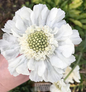 高加索蓝盆花种子适合南北方春天种的<span class=H>鲜花</span>籽种植四季室外悠然园艺