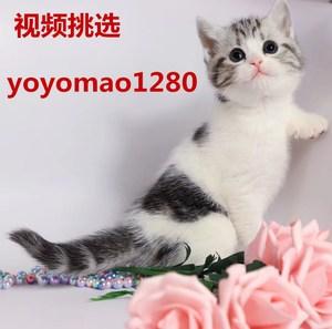 猫咪活体<span class=H>宠物</span>小猫家猫土猫活体家养田园猫幼猫狸花猫活体橘猫领养