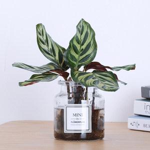 竹芋<span class=H>水培</span>植物玻璃瓶室内办公桌面绿植竹芋<span class=H>水培</span>植物吸甲醛花卉绿植