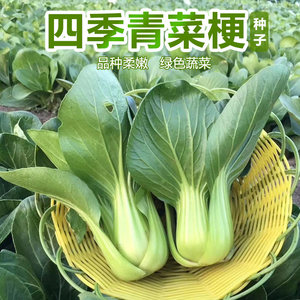 矮脚富士青梗菜种子 上海青油菜生长期极短四季播种阳台菜园青菜