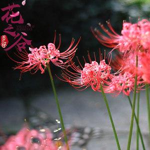 绿植彼岸花种子 曼珠沙华盆栽 彼岸花种球石蒜花 室内四季种花卉