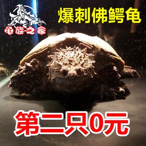 爆刺纯佛小鳄龟佛鳄龟北美鳄龟杂佛鳄龟活体<span class=H>宠物</span>龟水生肉食龟凶猛