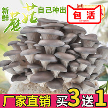 Potted Edible Fungi Potted Edible Fungi Balcony for Family Mushroom Cultivation