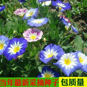 三色旋种子三色朝颜花卉种子园林景观园艺<span class=H>鲜花</span>植物花籽花海