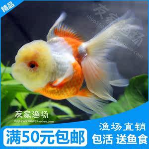 红白泰狮金鱼活体 玉顶太狮菠萝头 精品观赏鱼水族宠物送饲料鱼药