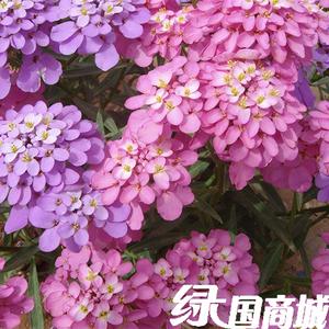 观花种子蜂室花种子蜂室花速生<span class=H>园艺</span>景观绿化花卉<span class=H>植物</span><span class=H>鲜花</span>种子包邮